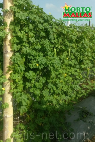 Bitter melon cultivation distribuited vertically with trellis net