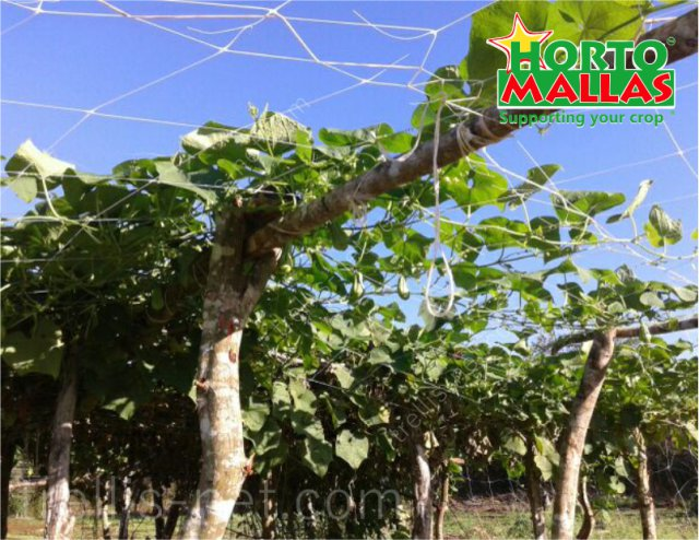 Chayote horizontal hanging production with trellis net
