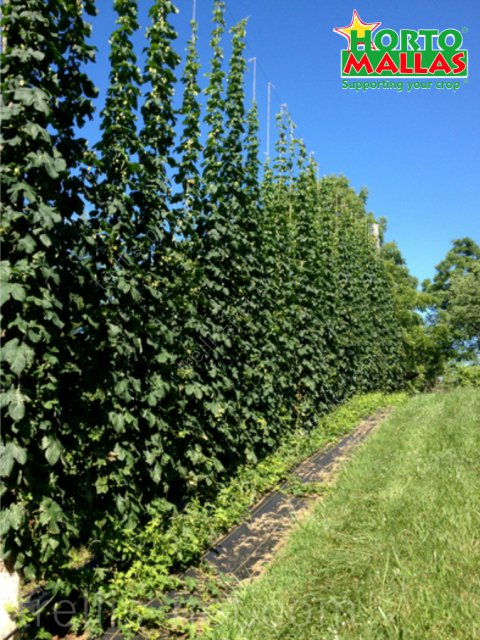 Climbing hop plant production on vertical