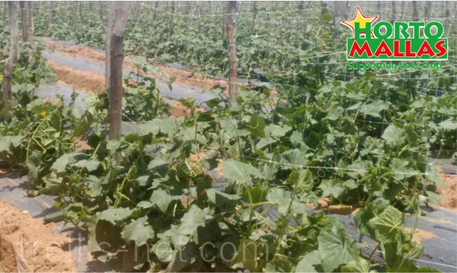 Cucumber production supported an distribuited vertically with trellis net