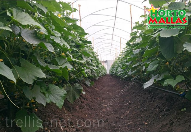Cucumber production using trellis net training