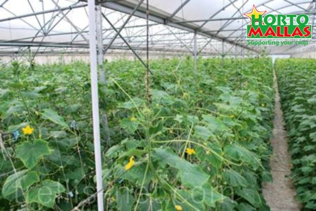 Cucumber production with trellis net inside greenhouse