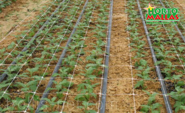 Daisy production with fertigation and horticultural trellis net for stems support