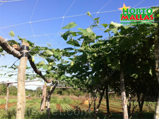 Horizontal trellis net on chayote production