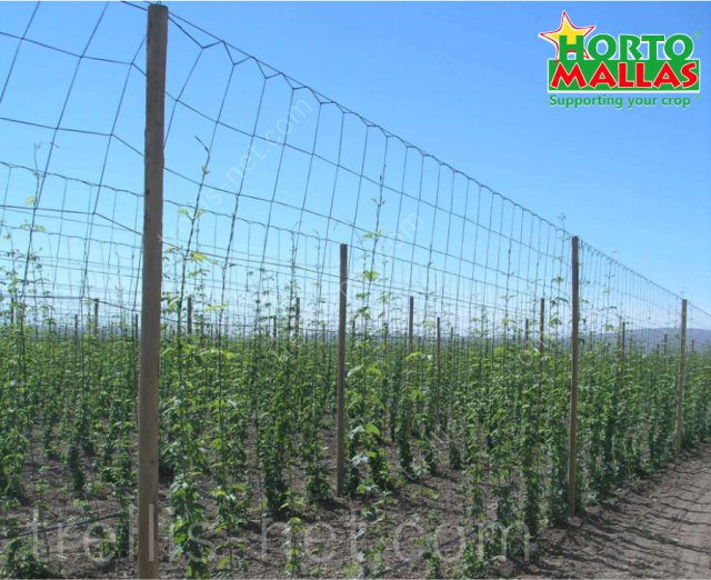 Low hop production, tutored with horticultural trellis net