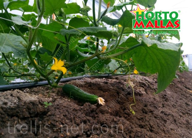 Trellis net trainig on open field cucumber production