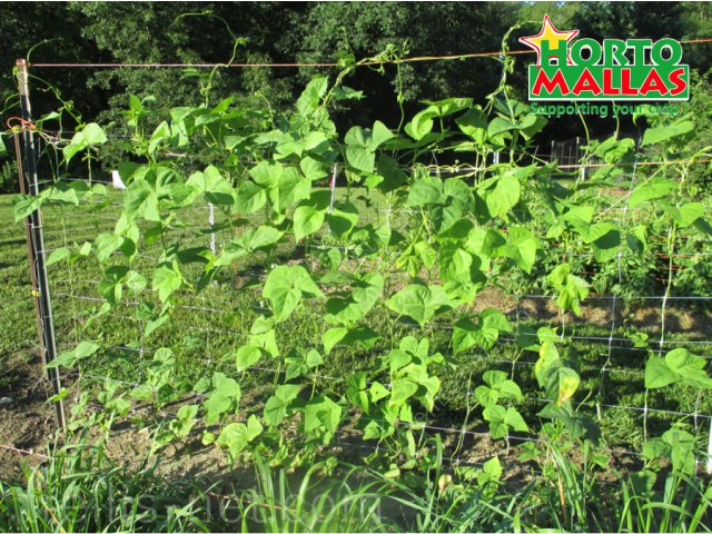 Trellis netting cucumber production distribution growing vertically