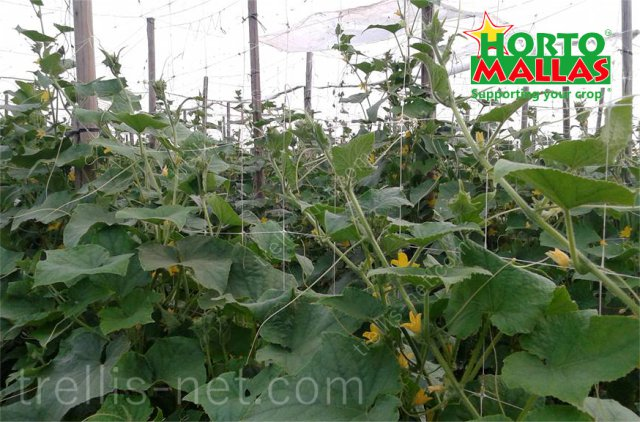 Vertical trellis net on cucumber production