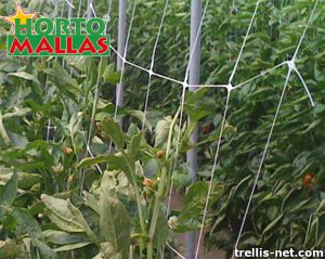 Lattice net placed in crops